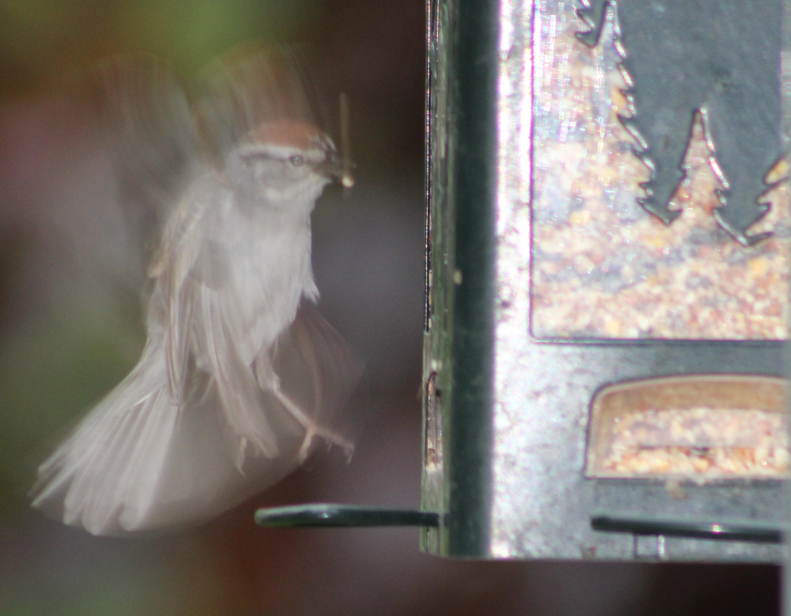 SparrowatFeeder
