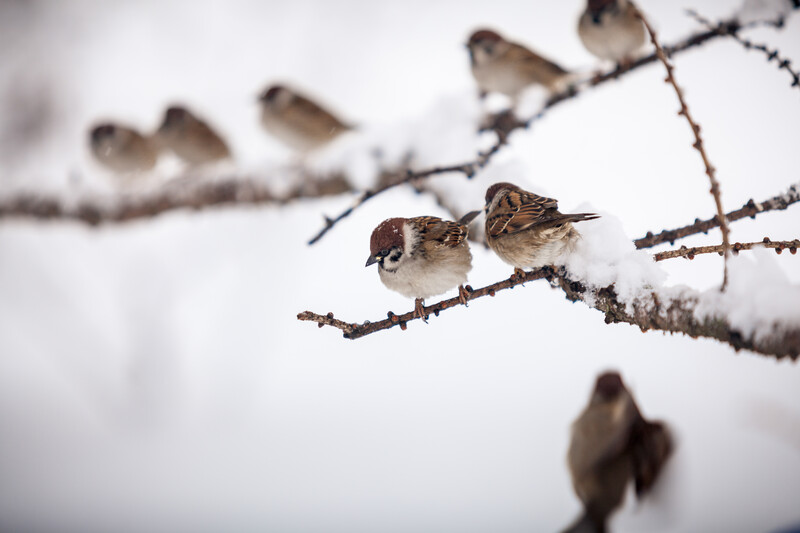 Sparrows on snow covered branches.